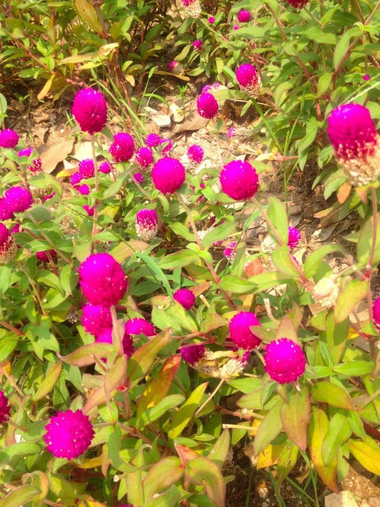 広州の秋の花