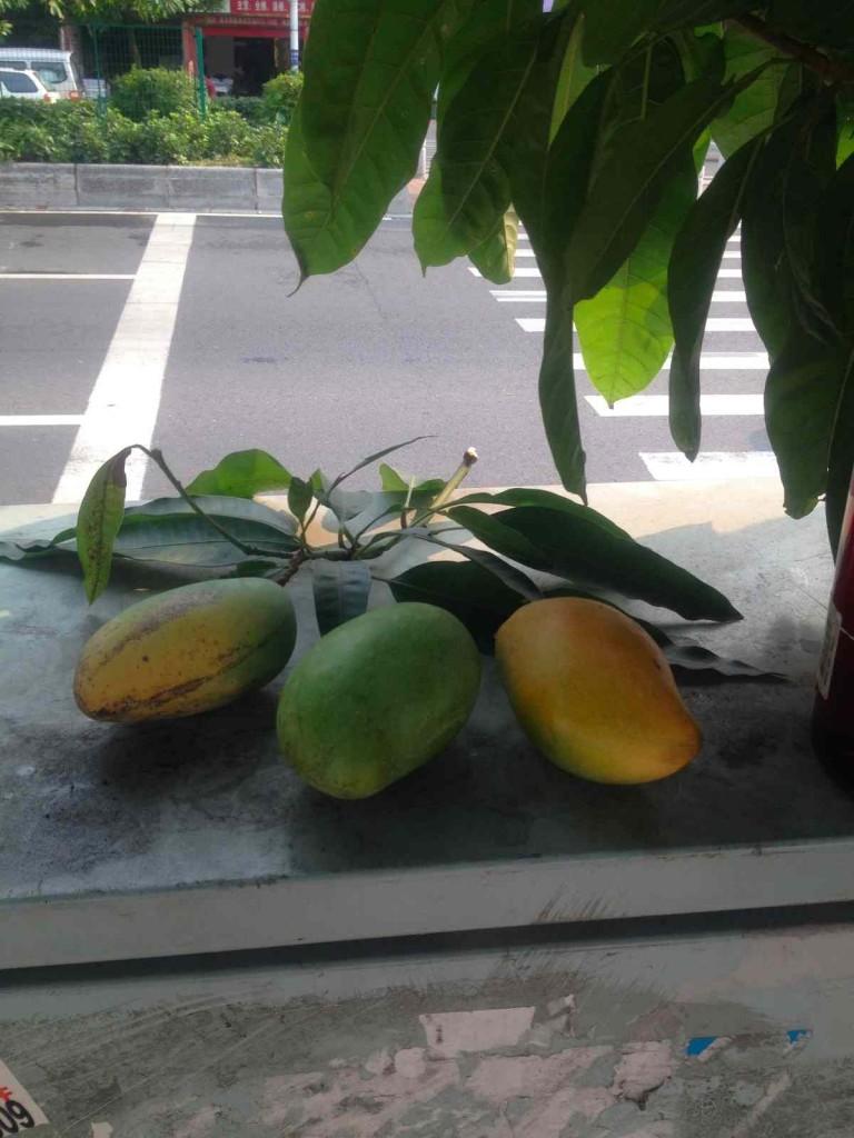 広州マンゴーの実 木